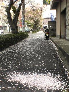 散った桜がじゅうたんのようでした。